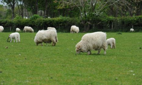 Welsh mountain sheep and lambs grazing